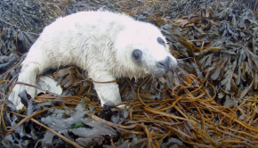 In a sea kayak, you never know what might be around the corner. Here, among some tidal islands of Argyll, Scotland, a very young sea pup spreads some charm. Note: this seal pup was relaxed and happy within in its own seaweedy environment. It was in no trouble at all, and certainly not 'drowning', as some might perhaps think. When wildlife really is in trouble, then we might perhaps intervene, especially if the trouble is man-made.