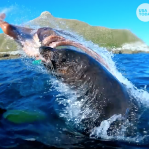 Seal slaps man with octopus