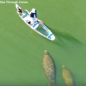 A couple of manatees following me while clear kayaking