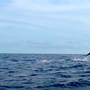 Adam Fisk of Los Buzos Resort to land an estimated 500+ pound marlin while kayak fishing in front of his home on Panama's Pacific coast.